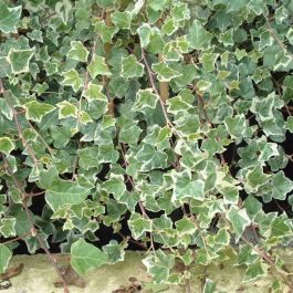 Common Ivy | Hedera helix 'Adam' | 2.5L Pot