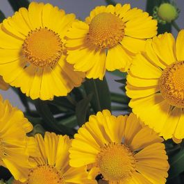 Helenium autumnale 'Helena Gold' | Pack of 5 Plug Plants