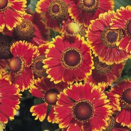 Helenium autumnale 'Helena Red Shades' | Pack of 5 Plug Plants