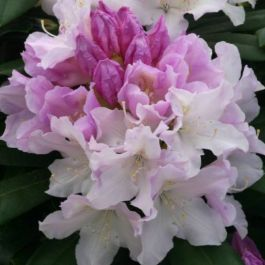 1ft Rhododendron 'Hoppy' | 3L Pot | Rhododendron Yakushimanum