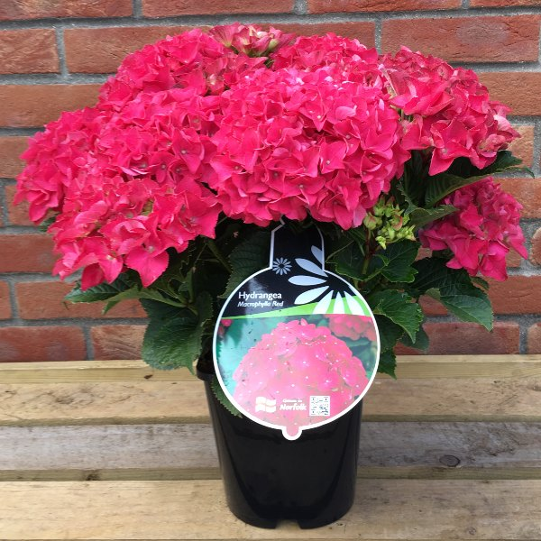 2ft 'Hot Red' | 4.5L Pot | Hydrangea Macrophylla