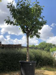 Fully Mature 'Van' Cherry Tree Half Standard in 110L Pot 25/30cm Girth 'Prunus avium Bigarreau Van'