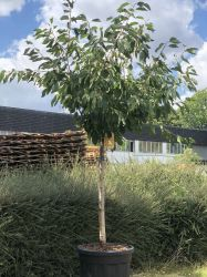 1.5m Mature Sweetheart Cherry Tree Half Standard in 70L Pot 'Prunus avium Sweetheart'