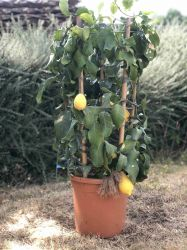 Lemon Tree Circle in 12L Pot