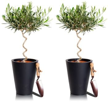 Spiral Olive Tree - Set of 2 - 70-80cm Olea Europea 7L