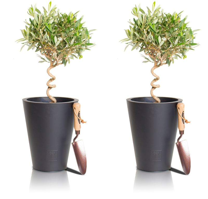 Spiral Olive Tree - Set of 2 - 50-60cm Olea Europea 5L
