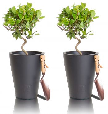 Bay Tree Spirals - Set of 2 - 50-60cm Laurus Nobilis 5L