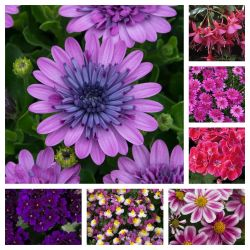 Pinks & Purples Instant Boarder Bedding Collection | 35 Plug Plants