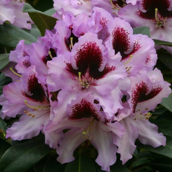 1ft Rhododendron 'Kabaret' | 7.5L Pot | Compact Rhododendron