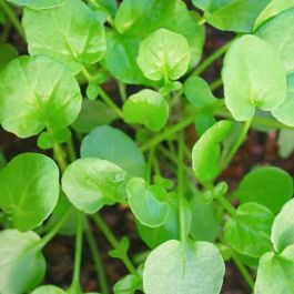 Land Cress  | 10 Plants | By Plant Theory