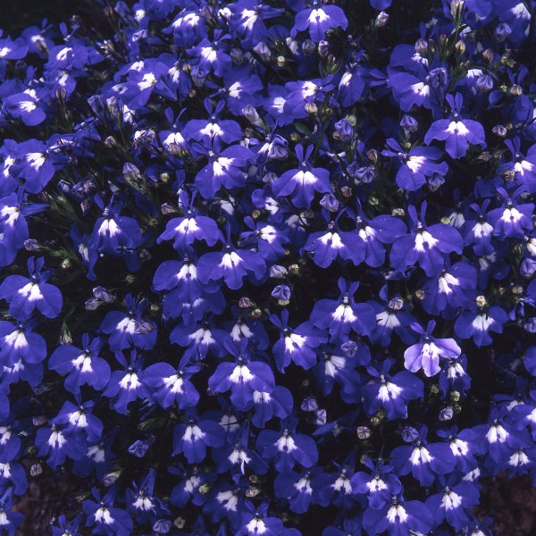 Lobelia 'Sapphire' Collection | A Tray of 40 Cell Plug Plants