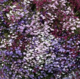 Lobelia Trailing Collection | A Tray of 40 Cell Plug Plants