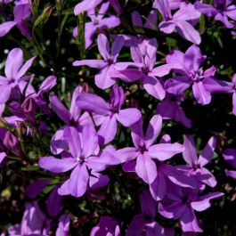 Lobelia 'Waterfall Lavender' | Pack of 5 Plug Plants