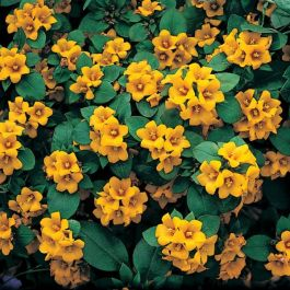 Lysimachia 'Lysii' | Pack of 5 Plug Plants
