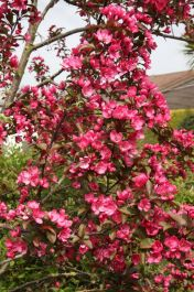 Prairie Fire Crabapple Tree | 12L Pot | Malus 'Prairie Fire' | By Frank P Matthews™