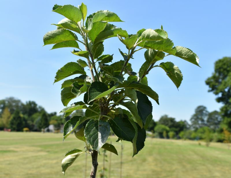 Bramley's Seedling' Cooking Apple Tree - Bare Root