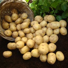 1kg 'Marfona' Seed Potatoes | Second Early