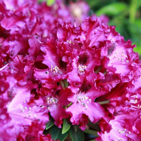 1ft Rhododendron 'Marie Fortier ' | 7.5L Pot | Compact Rhododendron