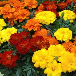 Marigold 'French Fancy' Collection | A Tray of 40 Cell Plug Plants