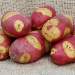 1kg 'Mayan Rose' Seed Potatoes | Maincrop