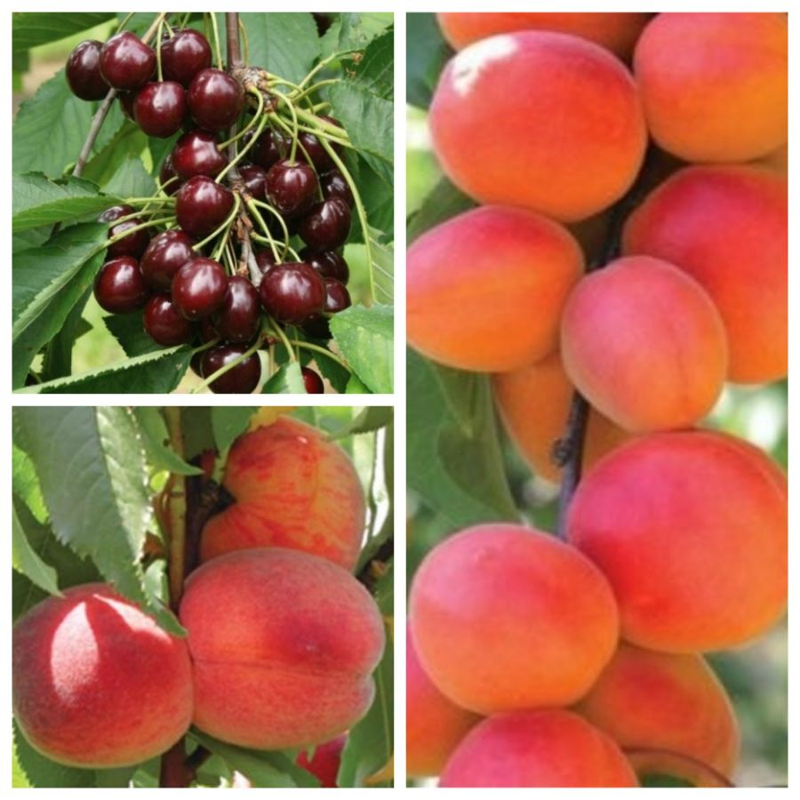 Mini Orchard Fruit Tree Collection - 5ft Apricot, Cherry and Peach Trees