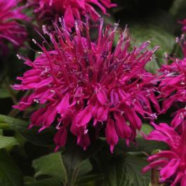 Monarda Balmy 'Purple' | Pack of 5 Plug Plants
