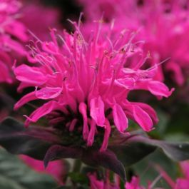 Monarda Balmy 'Rose' | Pack of 5 Plug Plants