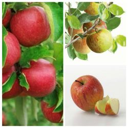 5ft 'Multi Purpose Apple Tree Collection - 3 x 5ft 'Apple Trees
