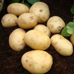 1kg 'Nadine' Seed Potatoes | Second Early