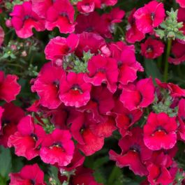 Nemesia 'Nesia Burgundy' | Pack of 5 Premium Plug Plants