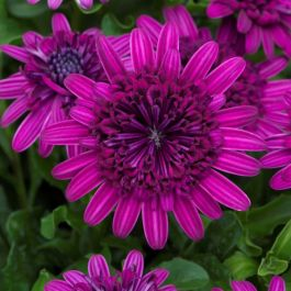 Osteospermum '3D Purple' | Pack of 5 Plug Plants