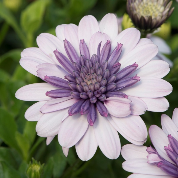 Osteospermum '3D Violet Ice' | Pack of 5 Plug Plants