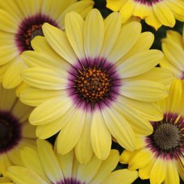 Osteospermum 'Serenity Blue Eyed Beauty' | Pack of 5 Plug Plants