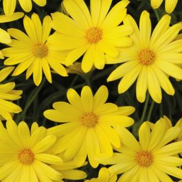 Osteospermum 'Voltage Yellow' | Pack of 5 Plug Plants