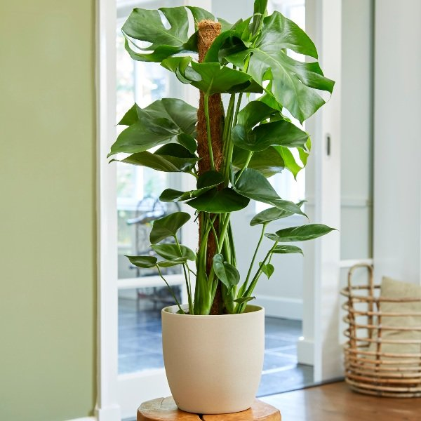 80cm Monstera Deliciosa on Moss Pole | Swiss Cheese Plant | 19cm Pot | By Plant Theory