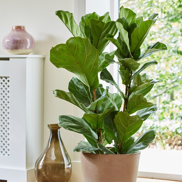 3ft Fiddle Leaf Fig | Single Stem | Ficus lyrata | 4L Pot