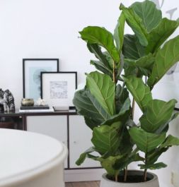 100cm Fiddle Leaf Fig | Double Stem | Ficus lyrata | 7.5L Pot