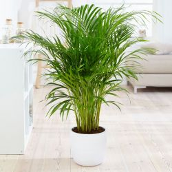 4ft Areca Palm | 24cm Pot | By Plant Theory