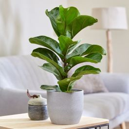 40cm Fiddle Leaf Fig | Ficus Lyrata | 13cm Pot | By Plant Theory