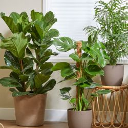 Urban Jungle Collection | Monstera Deliciosa, Ficus Lyrata & Chamaedora Elegans | By Plant Theory
