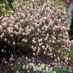 3ft 'Soulangeana' Magnolia Tree | 5L Pot