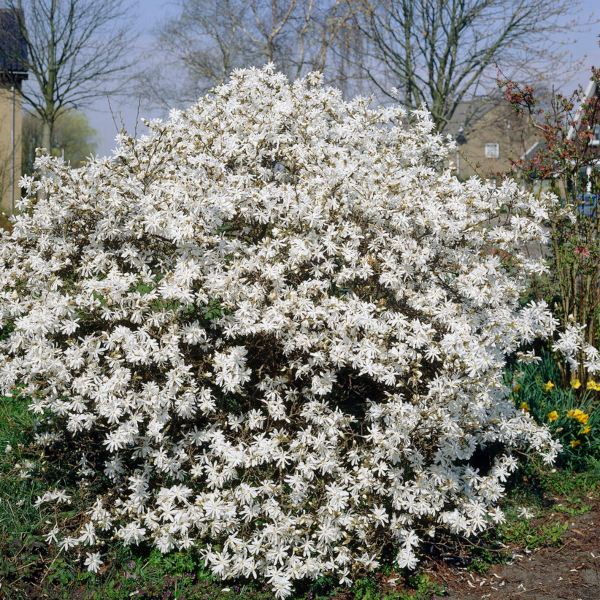 6ft Stellata Magnolia Tree | 18L Pot