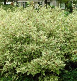 3ft Red-barked Dogwood | Cornus alba 'Elegantissima' | 10L Pot