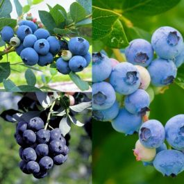 Full Season Blueberry Plants Collection | Bluecrop, Sunshine & Goldtraube