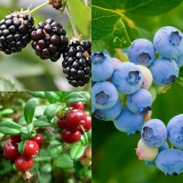 Soft Fruit Plant Collection | Blueberries, Blackberries & Lingonberries