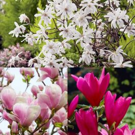 Magnolia Tree Collection | Stellata, Susan & Soulangeana