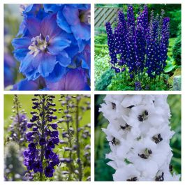Delphinium Collection | 4 x 10.5cm Pots