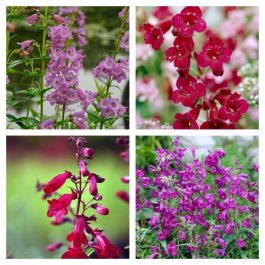 Penstemon Collection | 4 x 10.5cm Pots