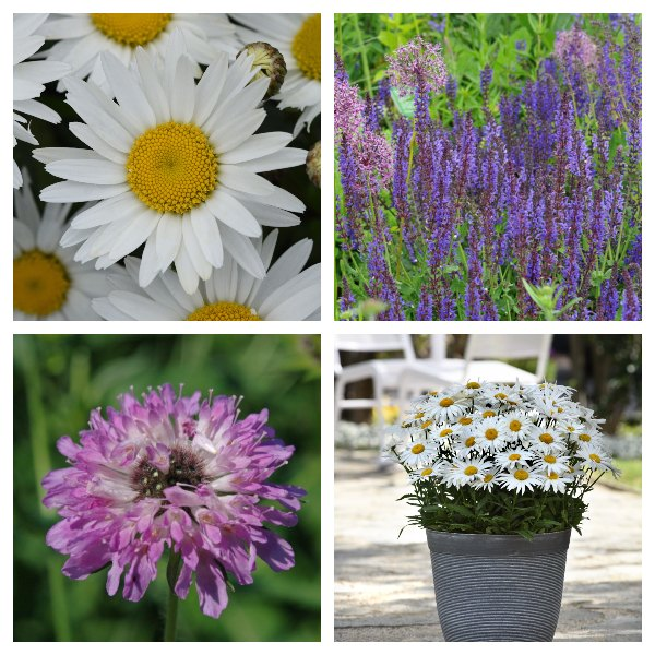 Summer Flowering Perennial Collection | 4 x 10.5cm Pots