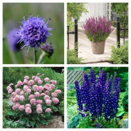 Pink and Purple Perennials Collection | 4 x 10.5cm Pots